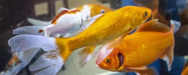 金鱼能和热带鱼一起养吗,能和什么鱼一起养