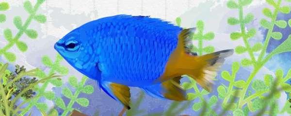 黄尾蓝魔雀鲷好养吗,怎么养