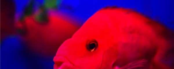 鹦鹉鱼咬鹦鹉鱼是什么原因,应该怎么办