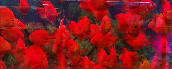 鹦鹉鱼有几种颜色,有哪些品种