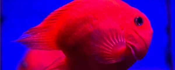 鹦鹉鱼养多少条比较好,如何防止鹦鹉鱼打架