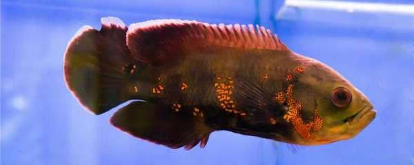 地图鱼最大能长多大,能活多久