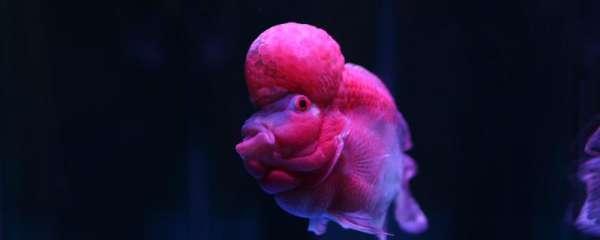 怎样养好罗汉鱼,饲养罗汉鱼有哪些注意事项