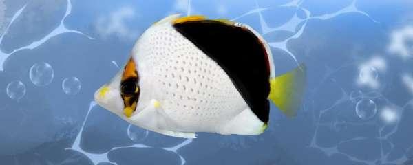 金坦克蝴蝶鱼好养吗,怎么养
