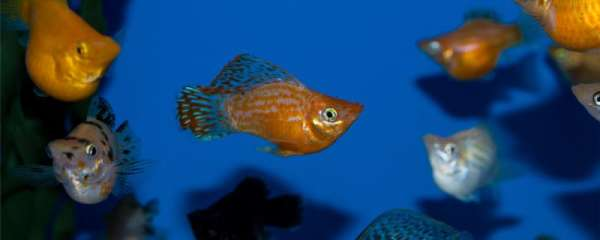玛丽鱼是胎生还是卵生,一次可以生多少小鱼