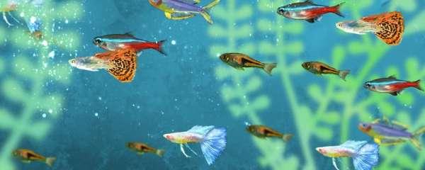 孔雀鱼下崽持续多长时间下完,下的崽怎么养