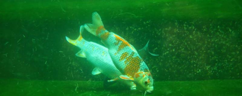 鱼塘水变绿撒多少盐,水为什么会变绿