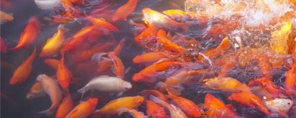 鱼塘水面起黄膜怎么去除,鱼塘水质净化方法