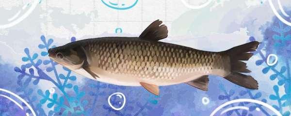 冬季钓草鱼用什么饵料,能加腥味吗