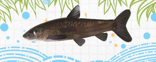 春天钓青鱼用什么饵料最好,能用玉米吗