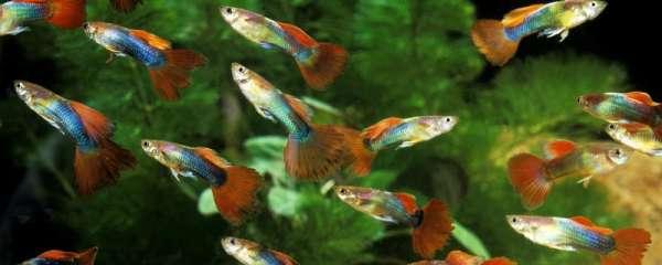 热带鱼多久生一次小鱼,什么热带鱼繁殖容易