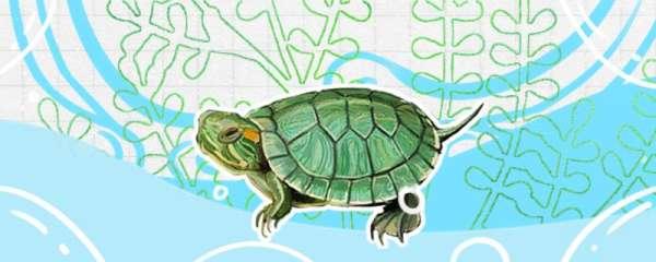 巴西龟能活多少年,能长多大