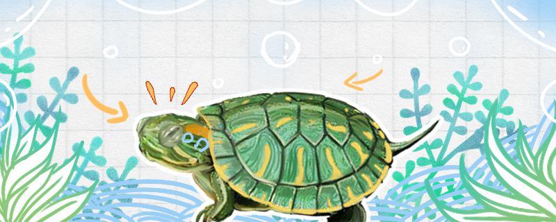 巴西龟可以活几年,怎么养活得久