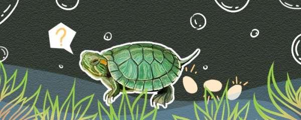 巴西龟下蛋前兆,下蛋后怎么孵化