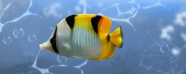 金双印蝴蝶鱼好养吗,怎么养
