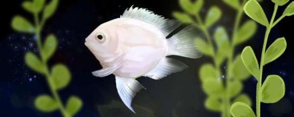 迷你鹦鹉鱼吃什么,一天喂几次合适