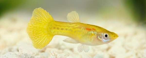 孔雀鱼的繁殖方法,繁殖时的注意事项