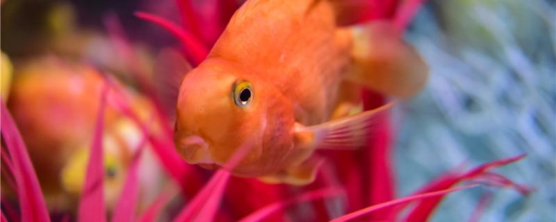鹦鹉鱼是怎么繁殖的,繁殖时需要注意什么