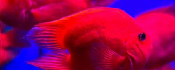怎么养鹦鹉鱼越来越红,怎么保持颜色
