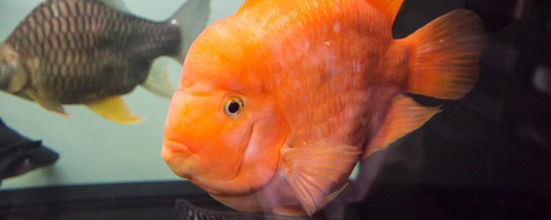 什么鱼可以和鹦鹉鱼混养,混养要注意什么