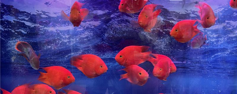 鹦鹉鱼好不好养,有什么注意事项