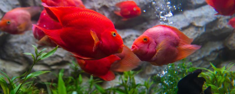 鹦鹉鱼一天喂多少粒,喂什么食物长得快