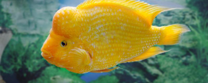 鹦鹉鱼和什么鱼可以混养,不能和什么鱼混养