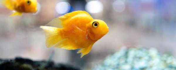 鹦鹉鱼可以繁殖吗,怎么繁殖