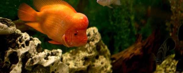 小罗汉鱼可以混养吗,能和什么鱼混养