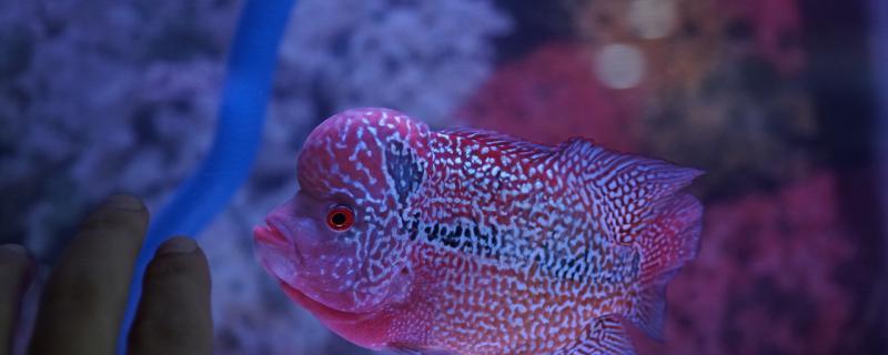 罗汉鱼和银龙鱼能混养吗,混养喂什么食物