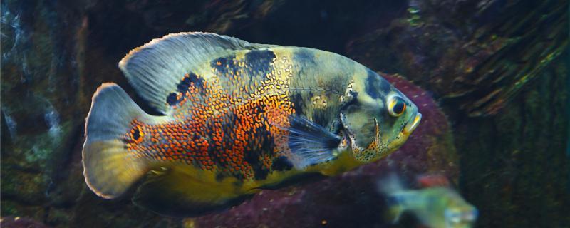 地图鱼和锦鲤能混养吗,能和什么鱼混养