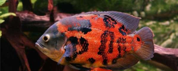 地图鱼有几种颜色,有哪些品种