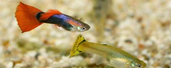 孔雀鱼生活在哪里,怎么还原孔雀鱼的生活环境