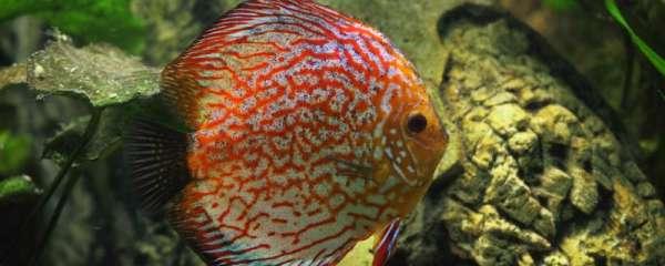 七彩神仙鱼生长速度是多少,能长多大