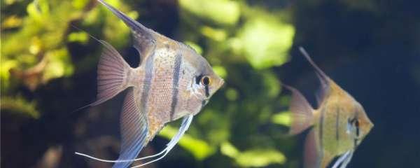 神仙鱼为什么叫神仙鱼,怎么养