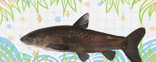 冬季钓青鱼用什么饵料最好,用什么小药最好