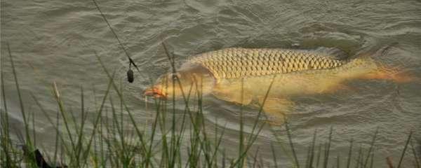 野钓鲤鱼怎么钓,用什么鱼竿