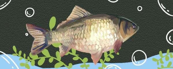 鲫鱼喜欢吃什么味道的饵料,喜欢吃蚯蚓还是红虫