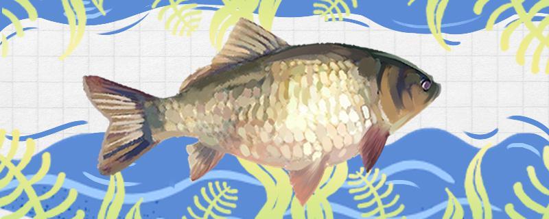 春季野钓鲫鱼用什么饵料最好,用什么鱼竿最好
