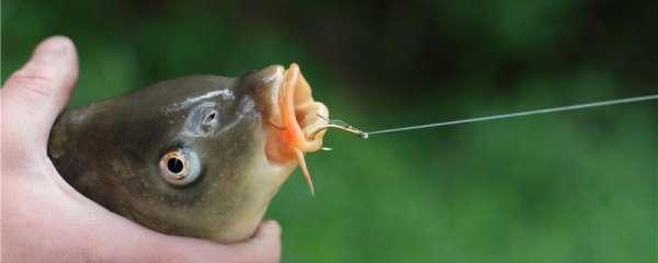 大鲤鱼怎么钓,用什么鱼竿钓