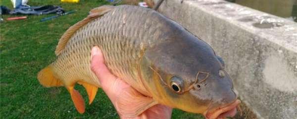 四月份钓鲤鱼用什么饵料,用什么窝料