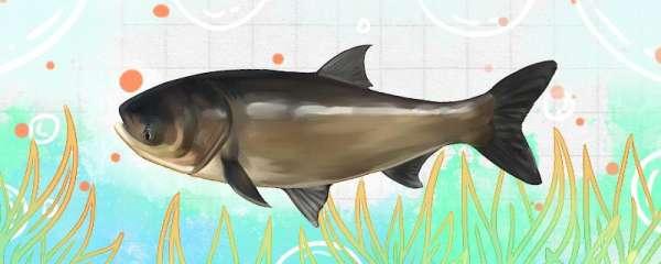 三月钓鲢鳙钓多深,用什么鱼饵钓