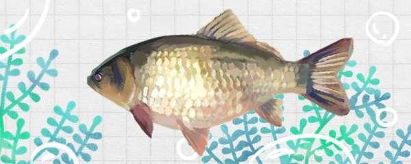 钓鲫鱼用什么鱼饵最好,用什么鱼竿最好