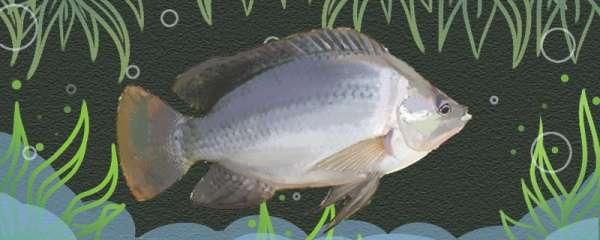 钓罗非鱼用什么饵料最好,用什么鱼竿最好
