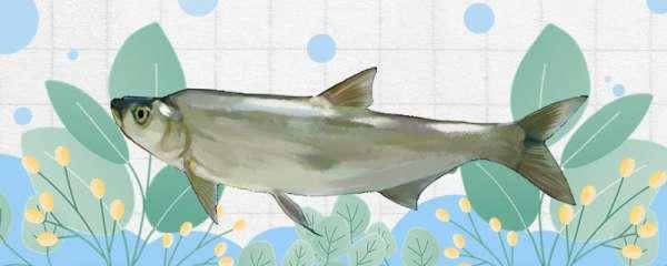 钓翘嘴鱼的最佳饵料是什么,用什么鱼竿容易钓