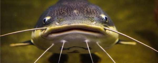 钓鲶鱼的方法,钓鲶鱼的技巧