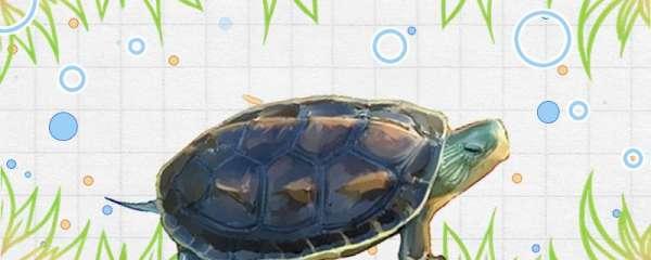 花龟和巴西龟可以放在一起养吗,需要注意什么