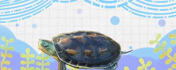 花龟可以长多大,多大可以繁殖