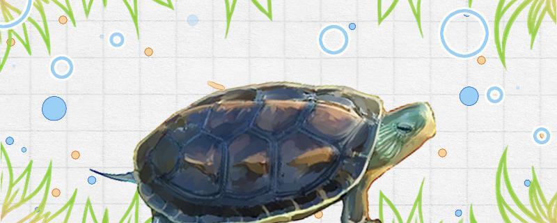 花龟可以干养吗,应该怎么养
