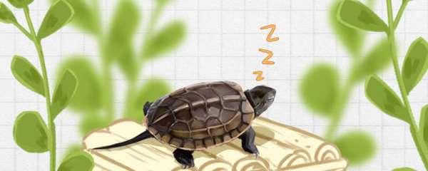 草龟如何冬眠,冬眠时间是多久